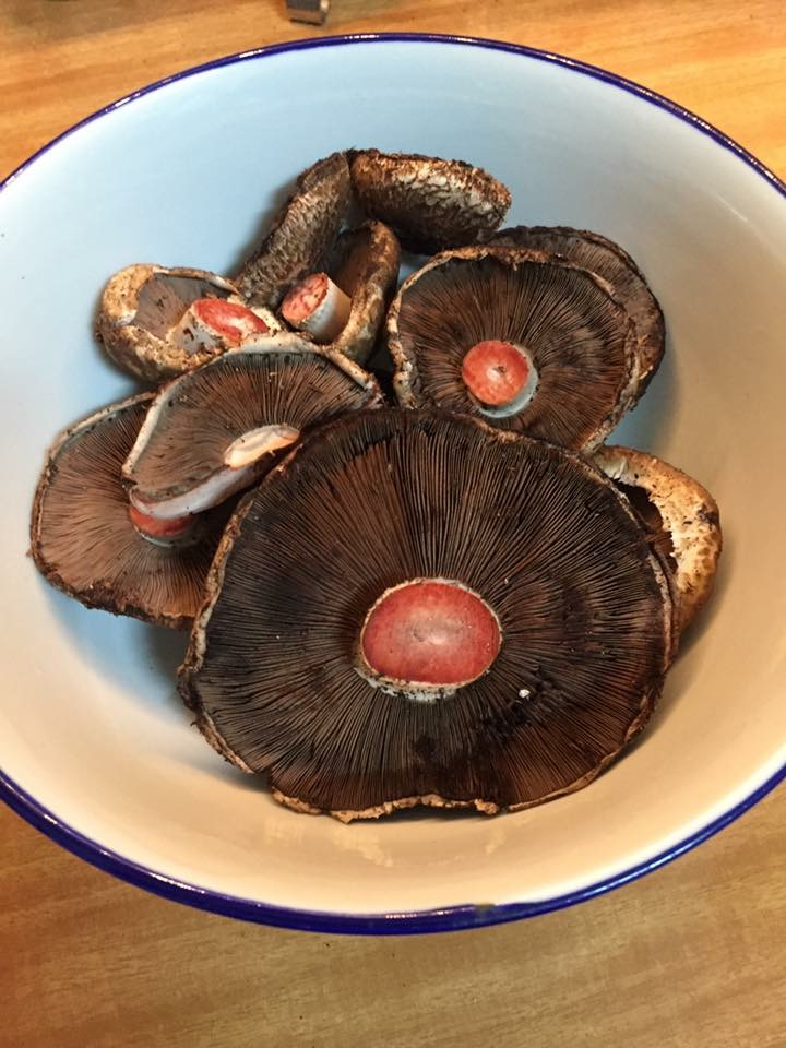 Red Staining Agaricus Gills and red staining
