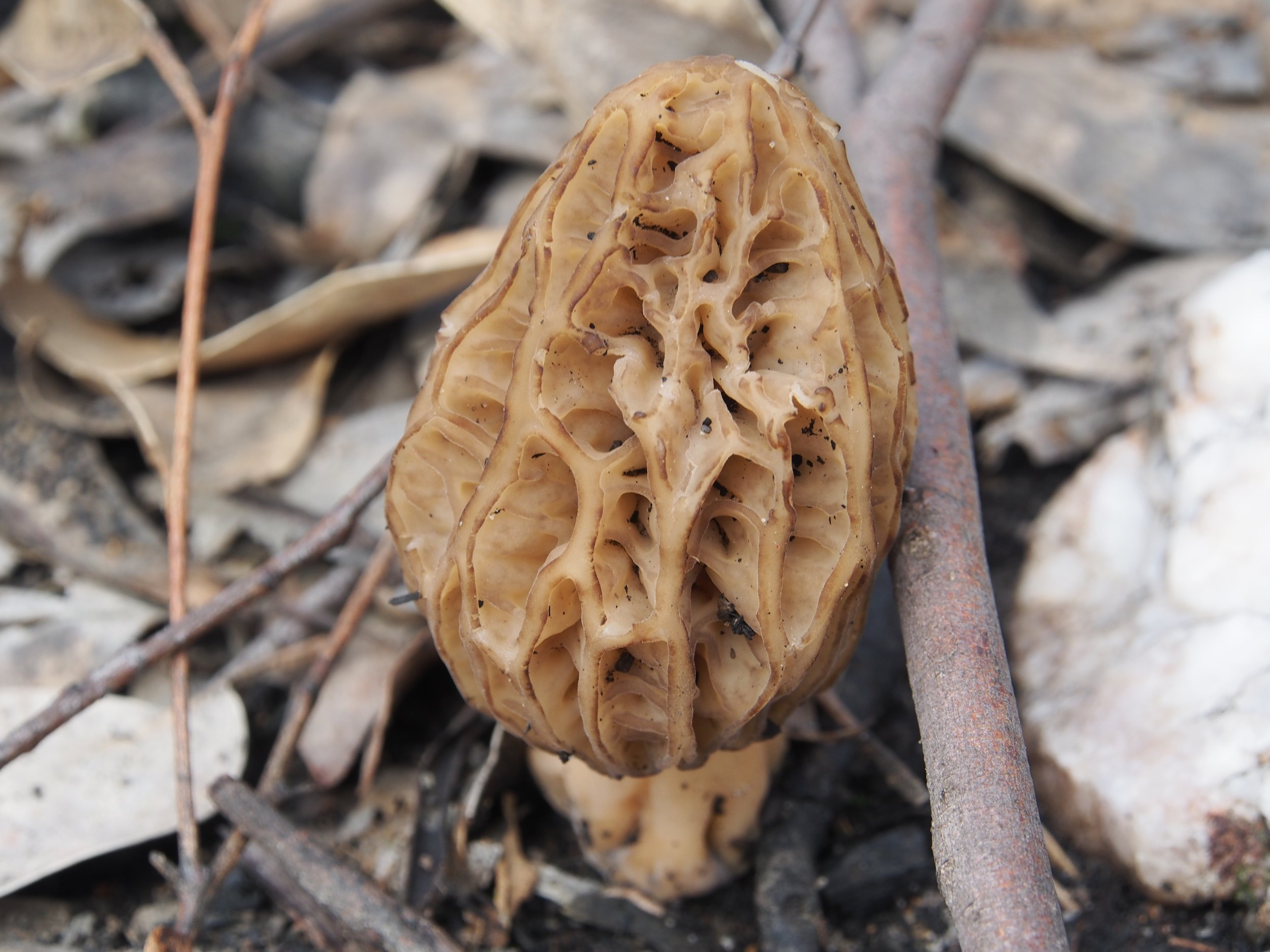 Fire Morel