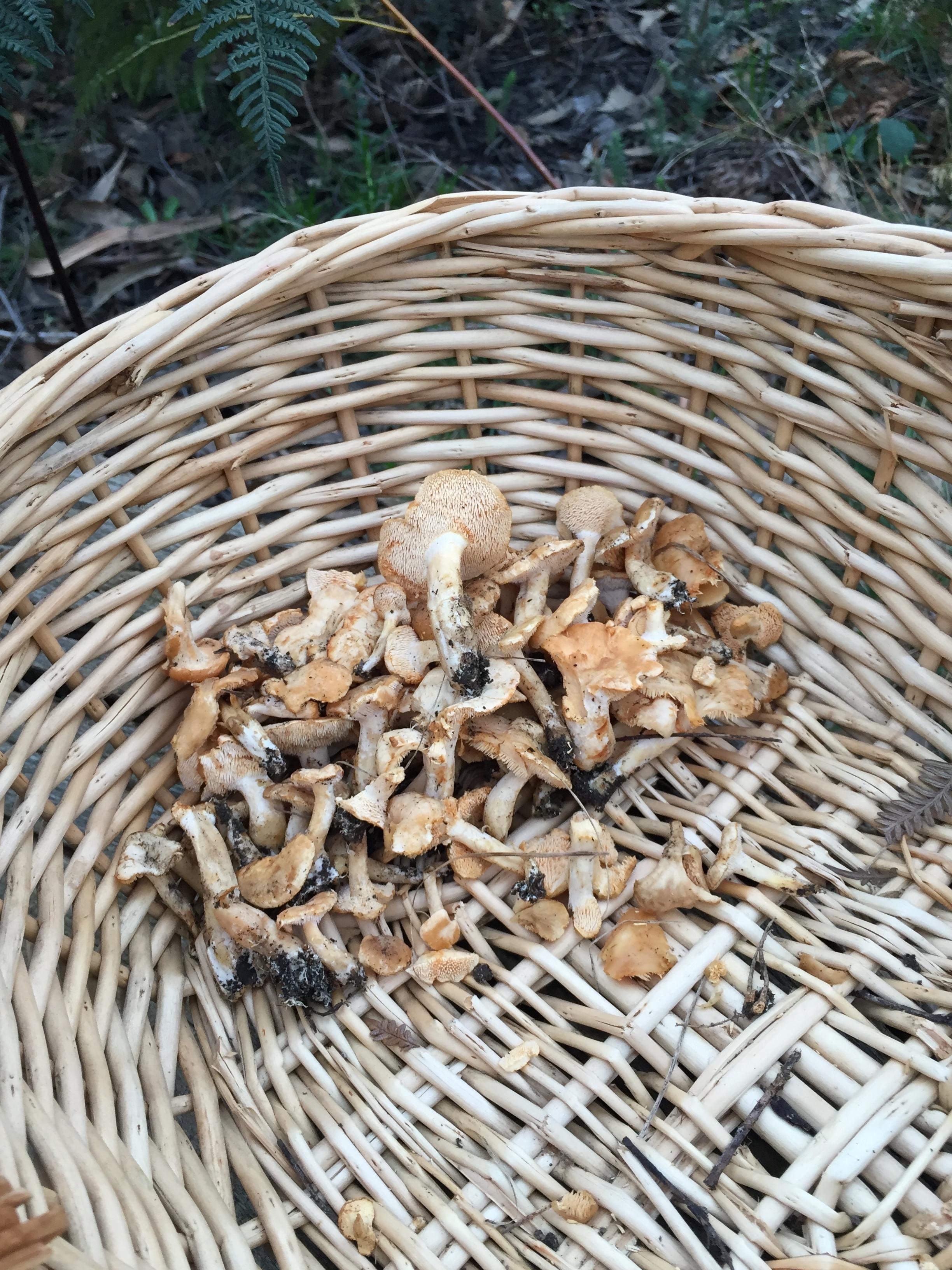 Hedgehog Mushroom.
