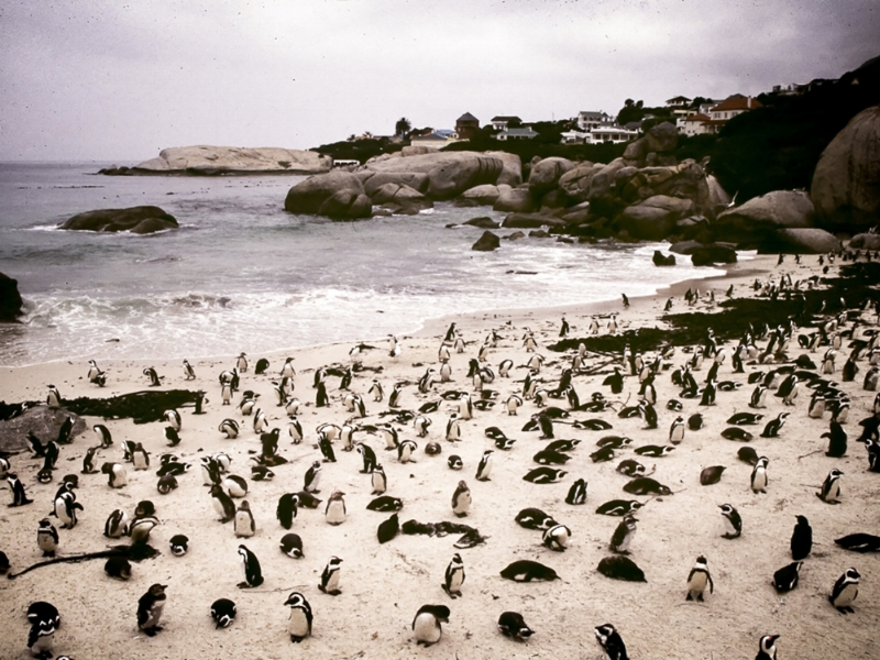 A colony of penguins on a beach. They have migrated, rather accidentially, from Antarctica