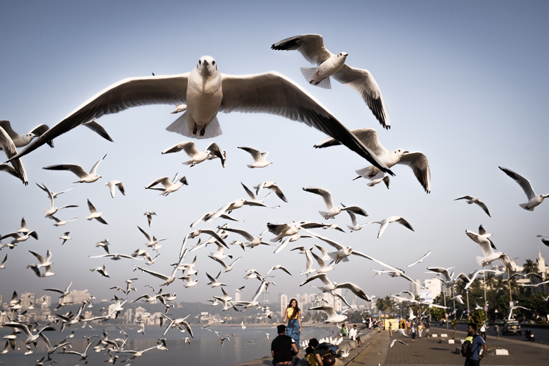 Seagulls are surprisingly rare along the coast, especially down in Goa. This is actually the only place where I have seen any, and they stuck in a big group. I strongly suspect that this has to do with the crows. They don´t like competition.