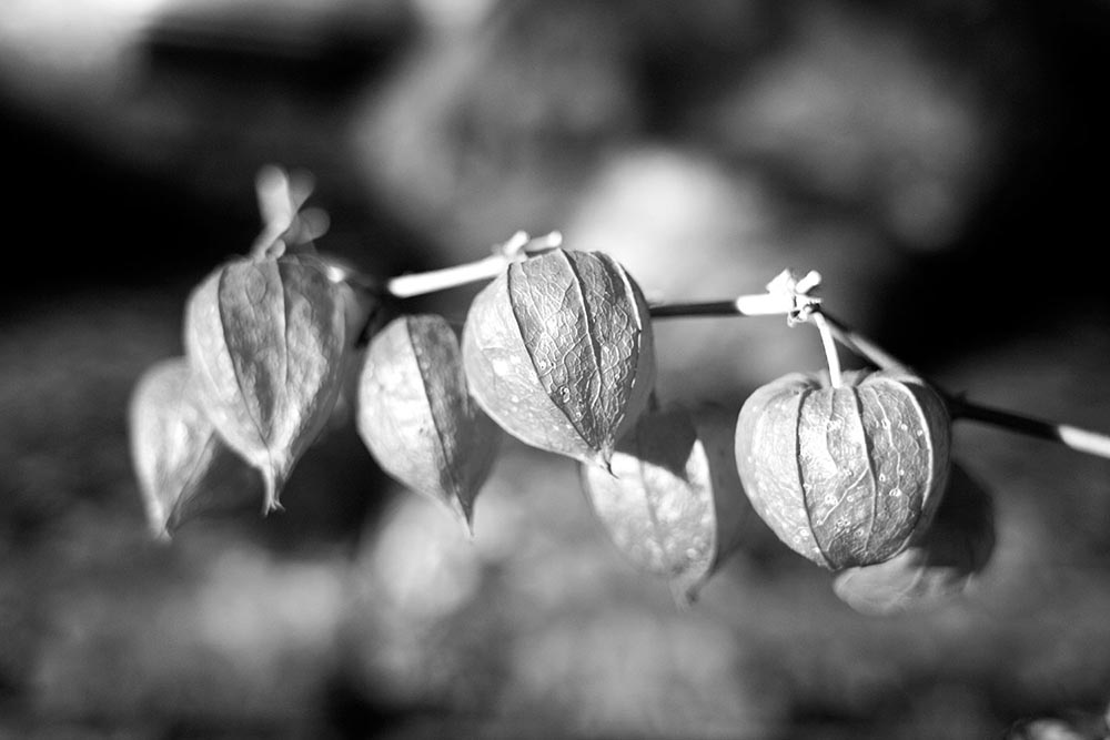 Black and white photograph of dried poppies.