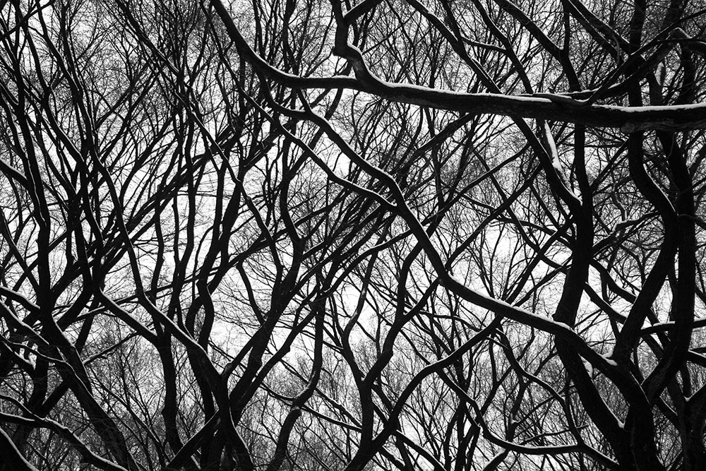 """Black and white photograph of tangled trees and branches in New York City's """"Literary Walk"""" in Central Park."""