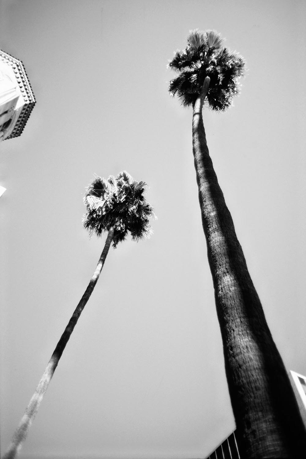 Black and white photograph of two tall palm trees in Los Angeles.