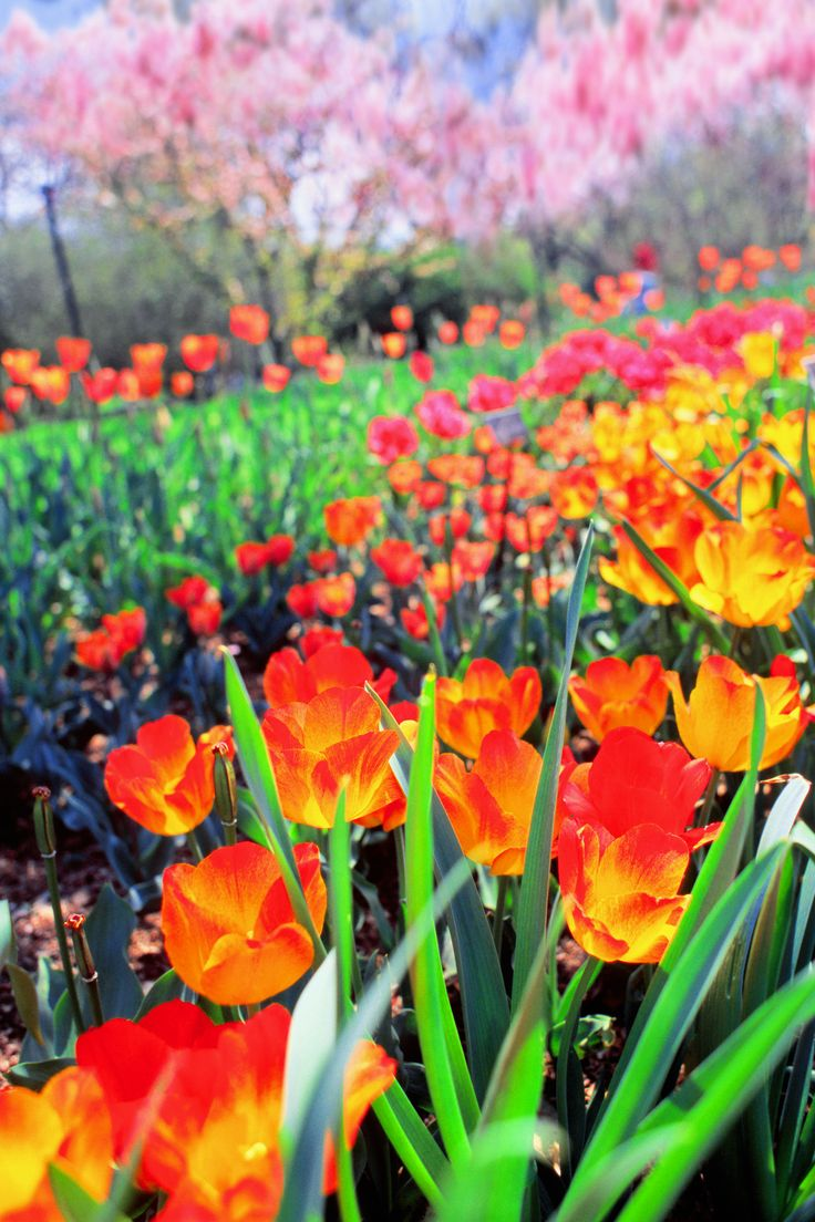 Tulips and cherry blossoms in bloom at the Brooklyn Botanic Garden, photographed on Velvia 100.