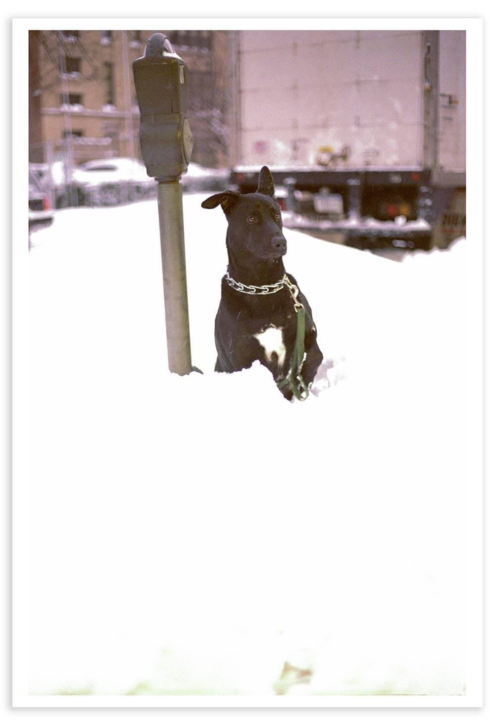 Photographed after the February 2006 New York City Blizzard. This dog looked like he was left outside all night, but his master was only gone for a minute or two.