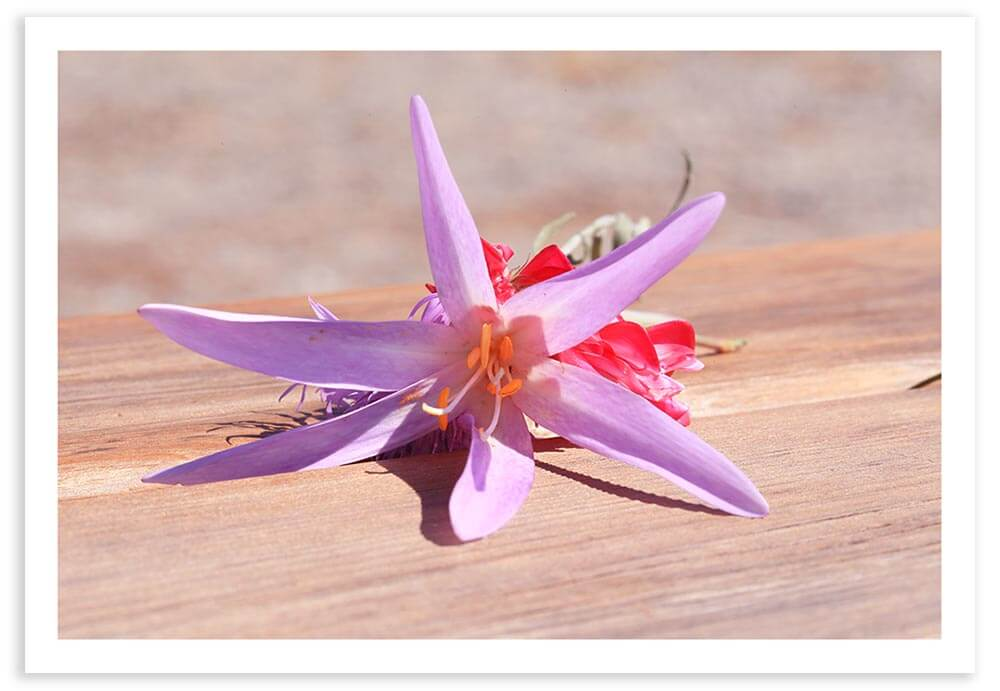 An Italian wildflower on a wooden picnic table with sunlight overhead.  Exif Data: 1/200 sec ; f/20.0 ; ISO 500
