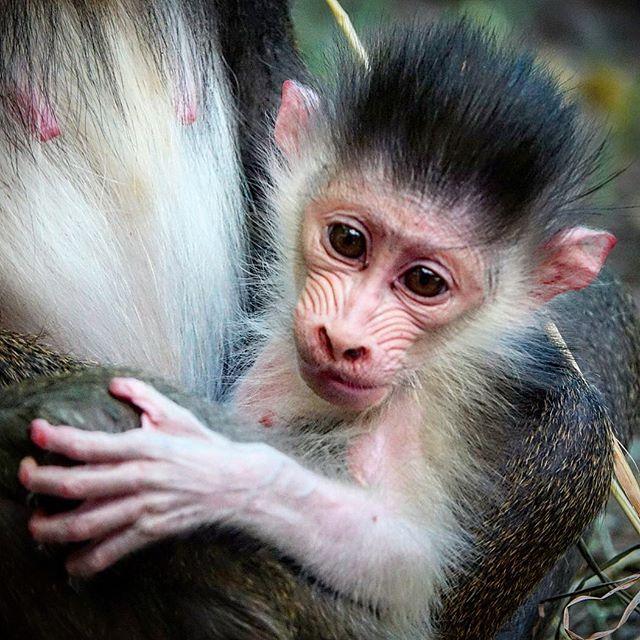 #mandrill #baby New baby #bronxzoo