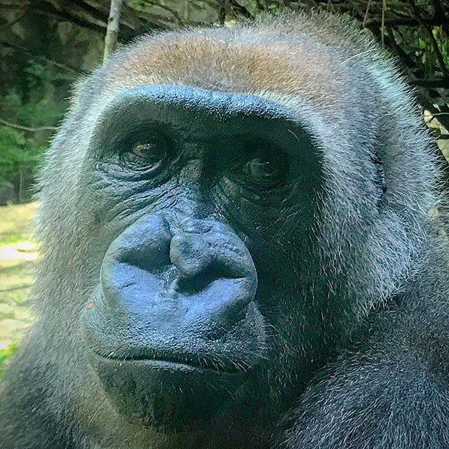 #beautiful #tuti #gorilla