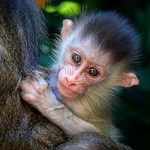 #baby #mandrill