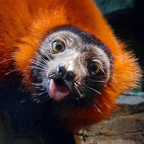 #redruffedlemur #tongueouttuesday
