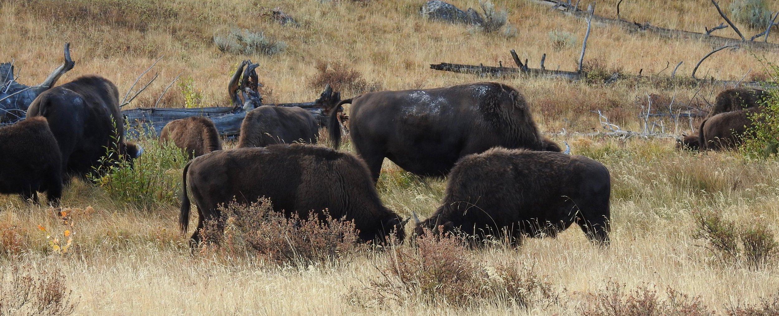 Buffalo feast.jpg