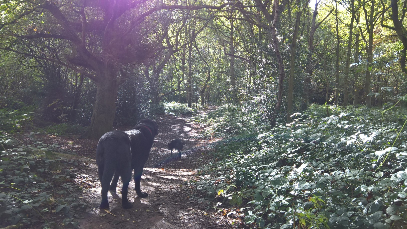 Roxy was happy to be out on a Shaws Paws walk again (Whittington Woods) after a long summer break   for video footage please visit https://www.facebook.com/Shaws-Paws-242482045761881/