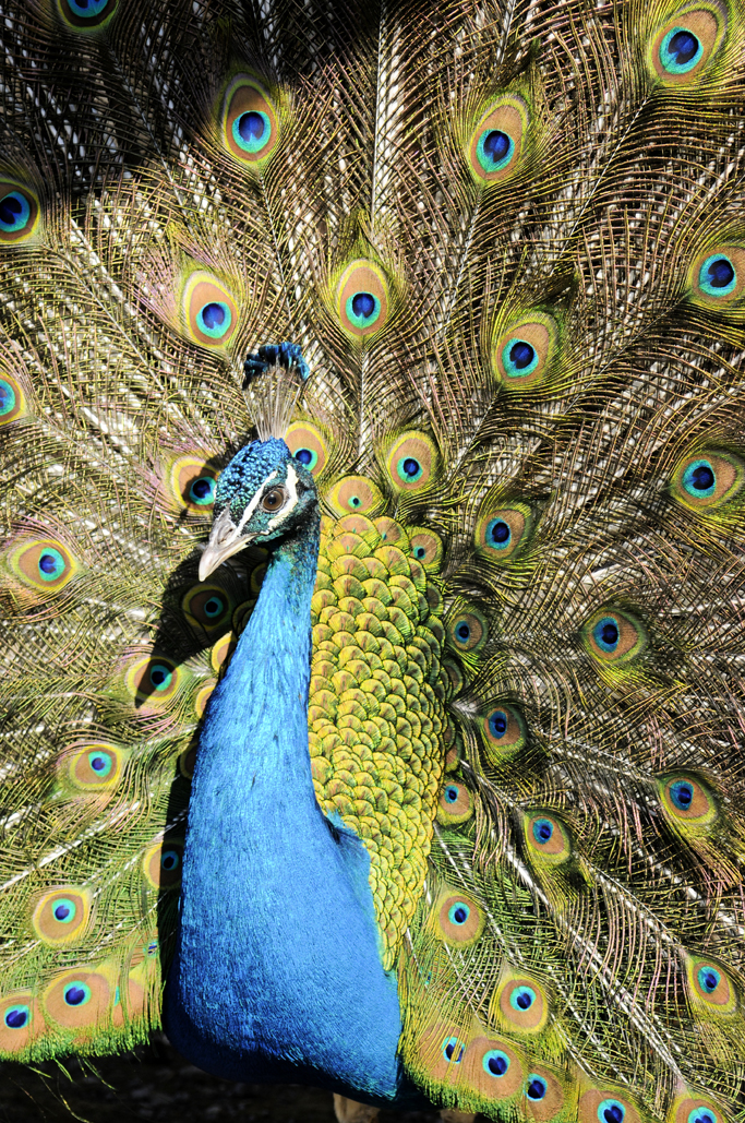 The peacock is the symbol of patients with Multiple Endocrine Neoplasia (M.E.N.) syndromes