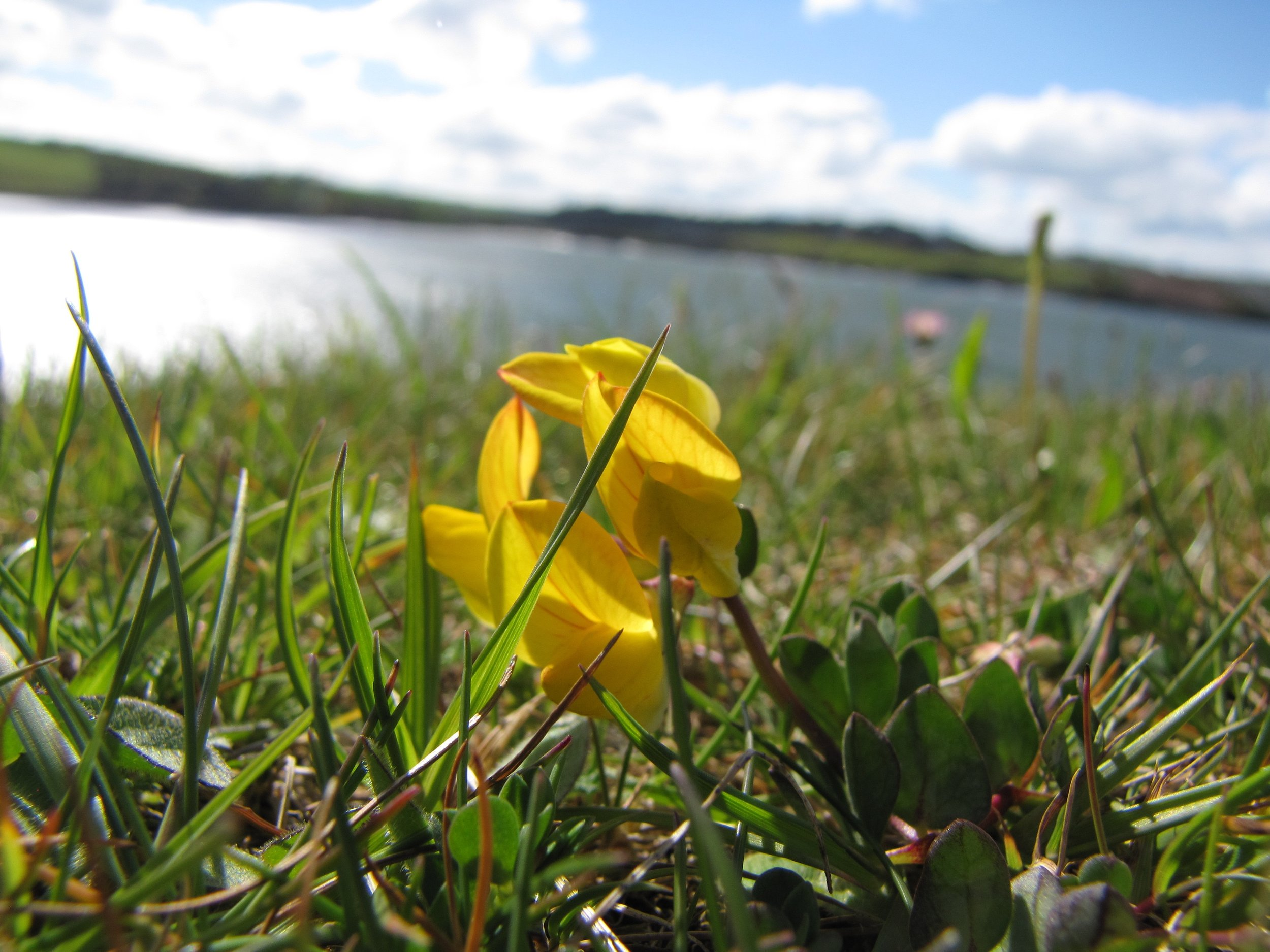 Yellow Irish Flower.jpg