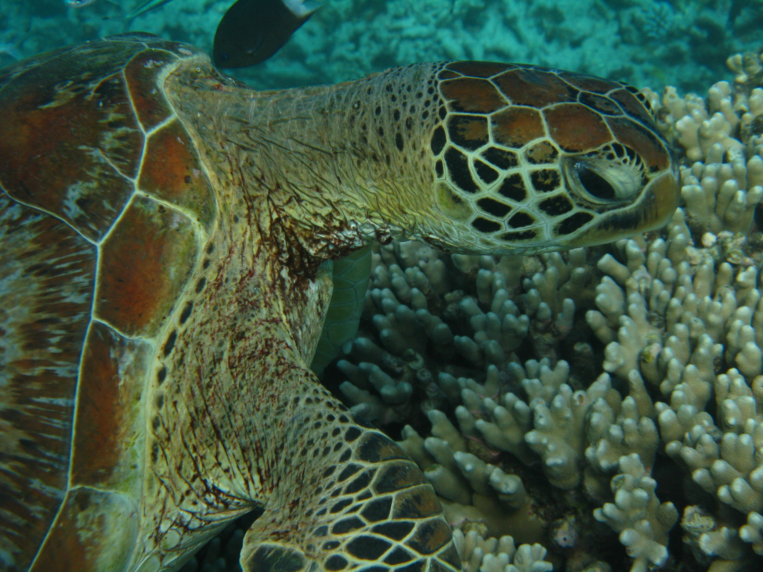 Majestic! Sea Turtle, Great Barrier Reef, Cairns, Australia