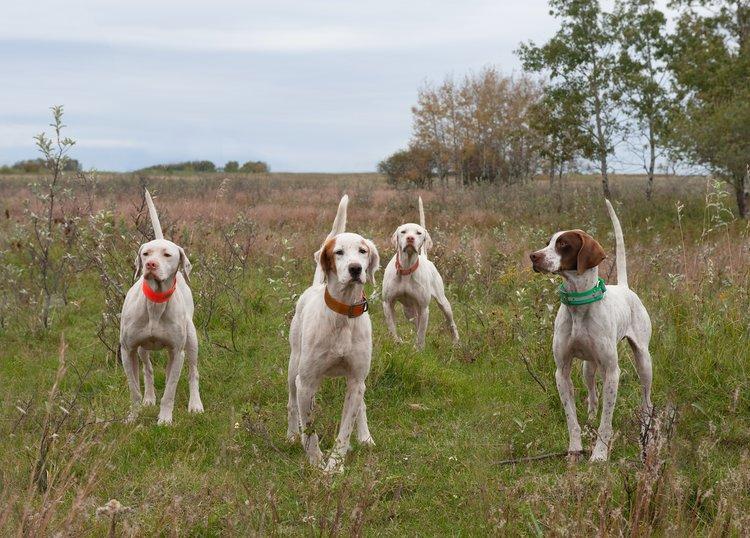 Butch-Houston-field-trial-dogs.jpg