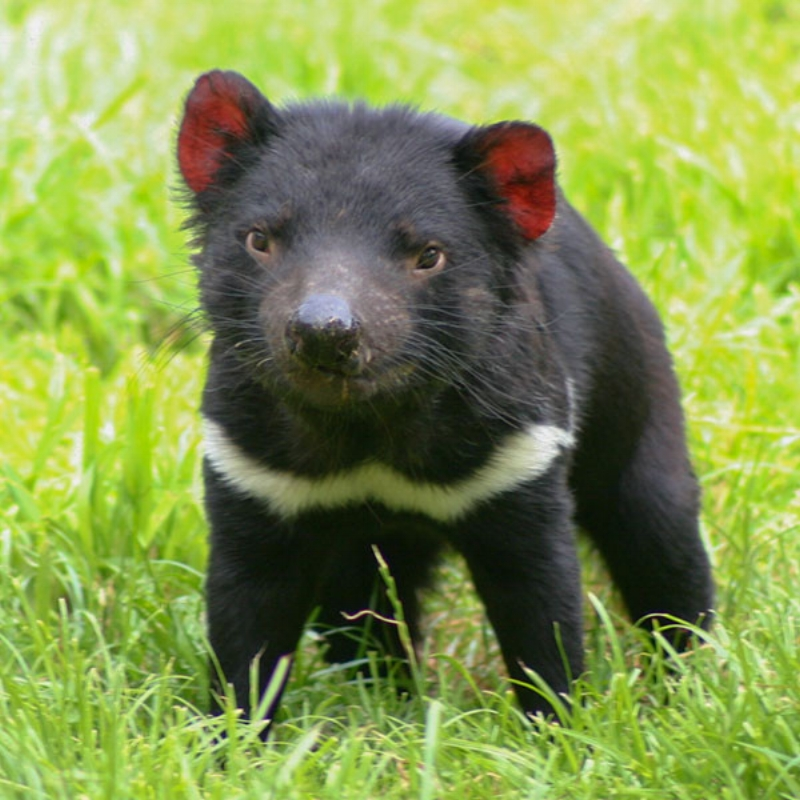 tasmanian-devil-600x600.jpg