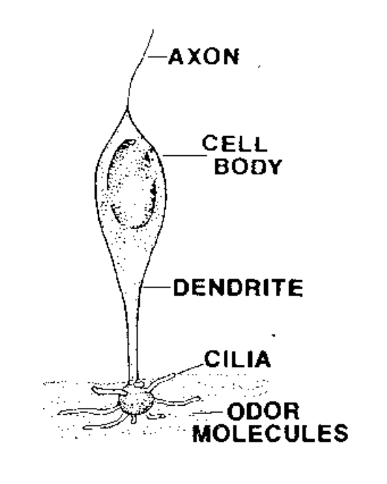 Human Olfactory Cell