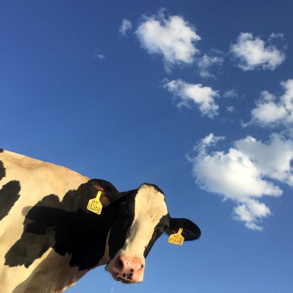 veganism, cow, cruelty free, environment