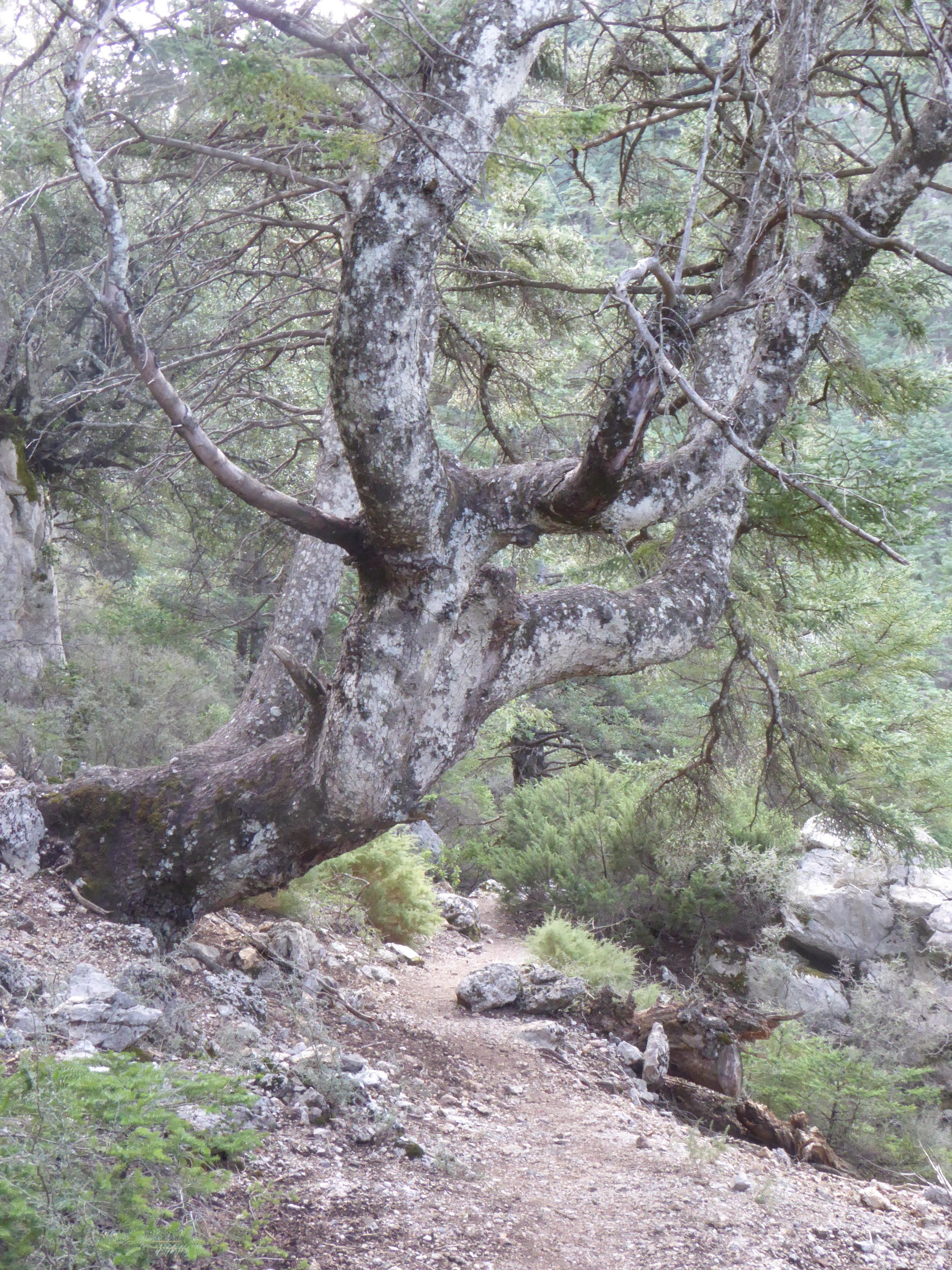 Spanish Fir, Abies pinsapo