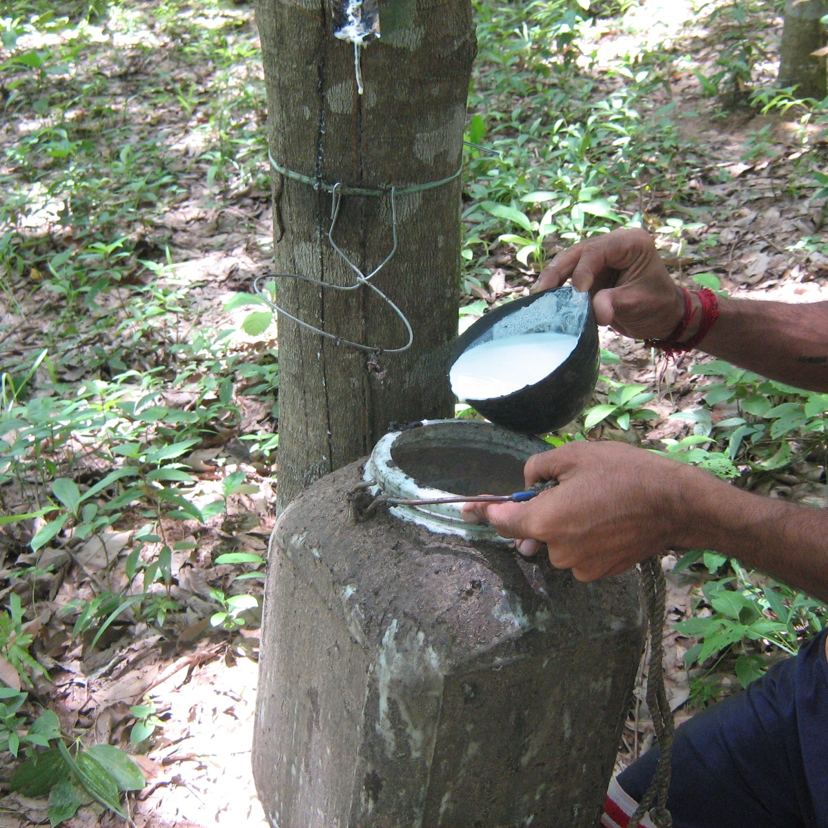 Collection of Rubber Latex from rubber tree.jpg