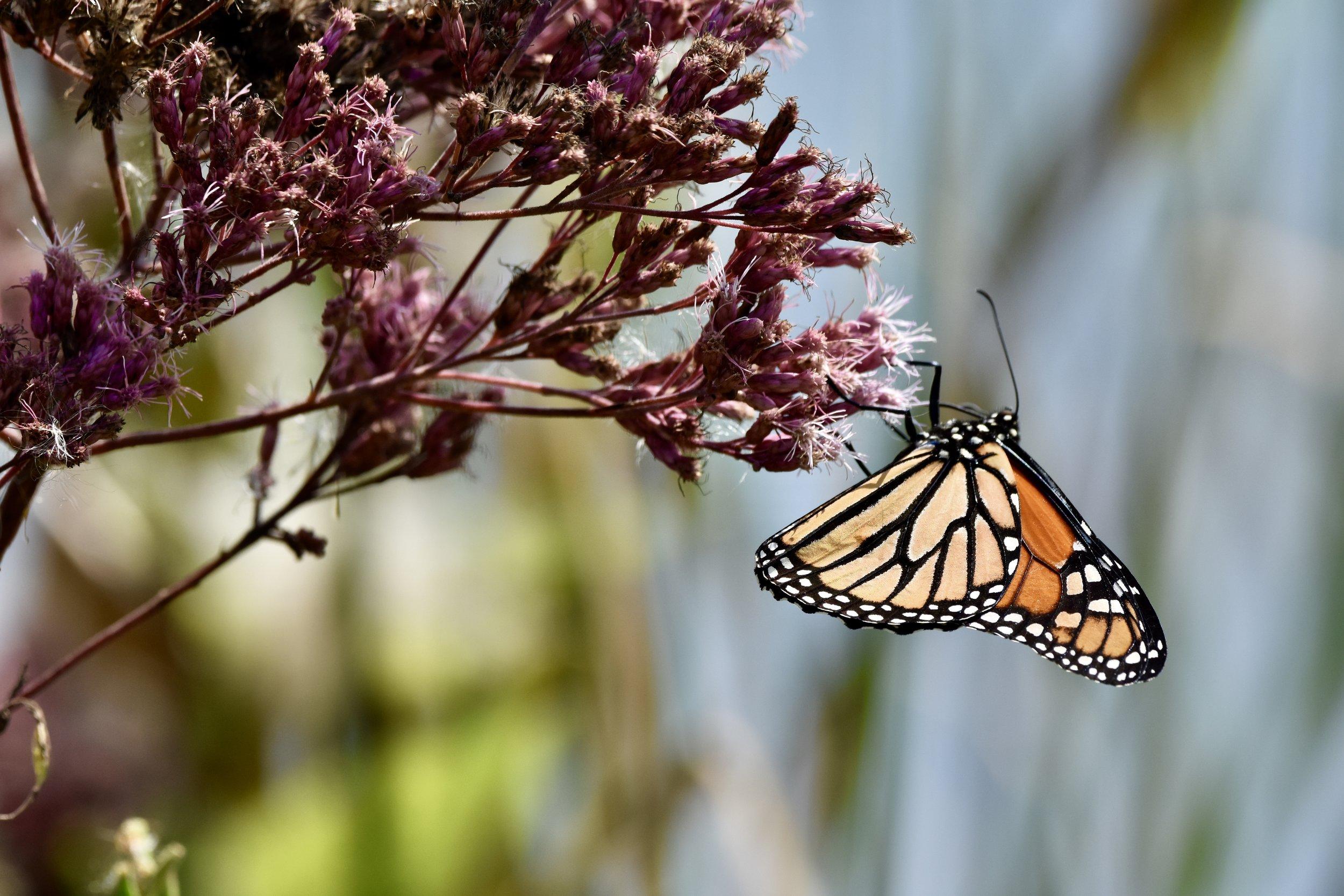 Monarch butterfly or simply  monarch  (Danaus plexippus)