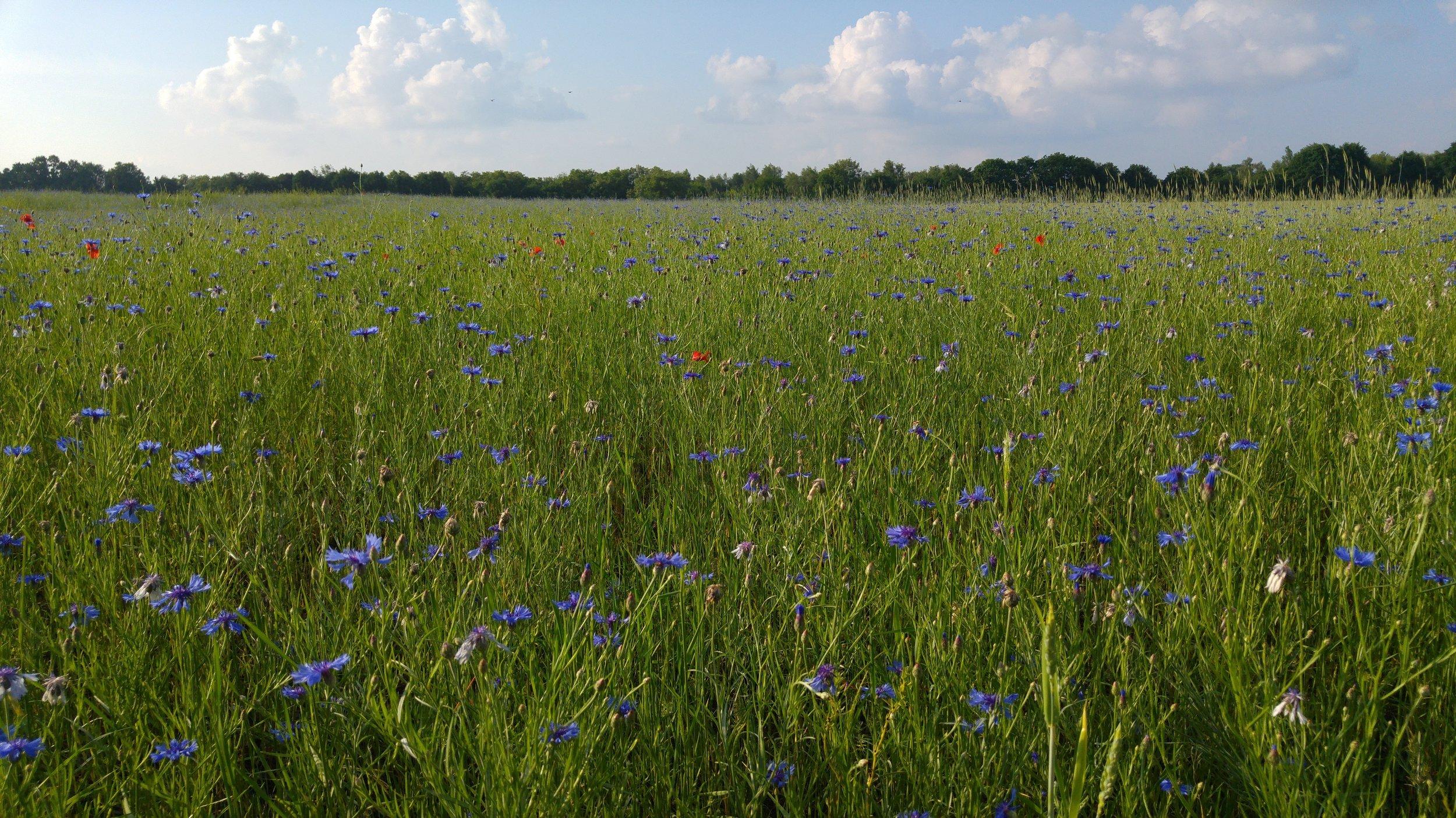 23. Cornflower Blue -