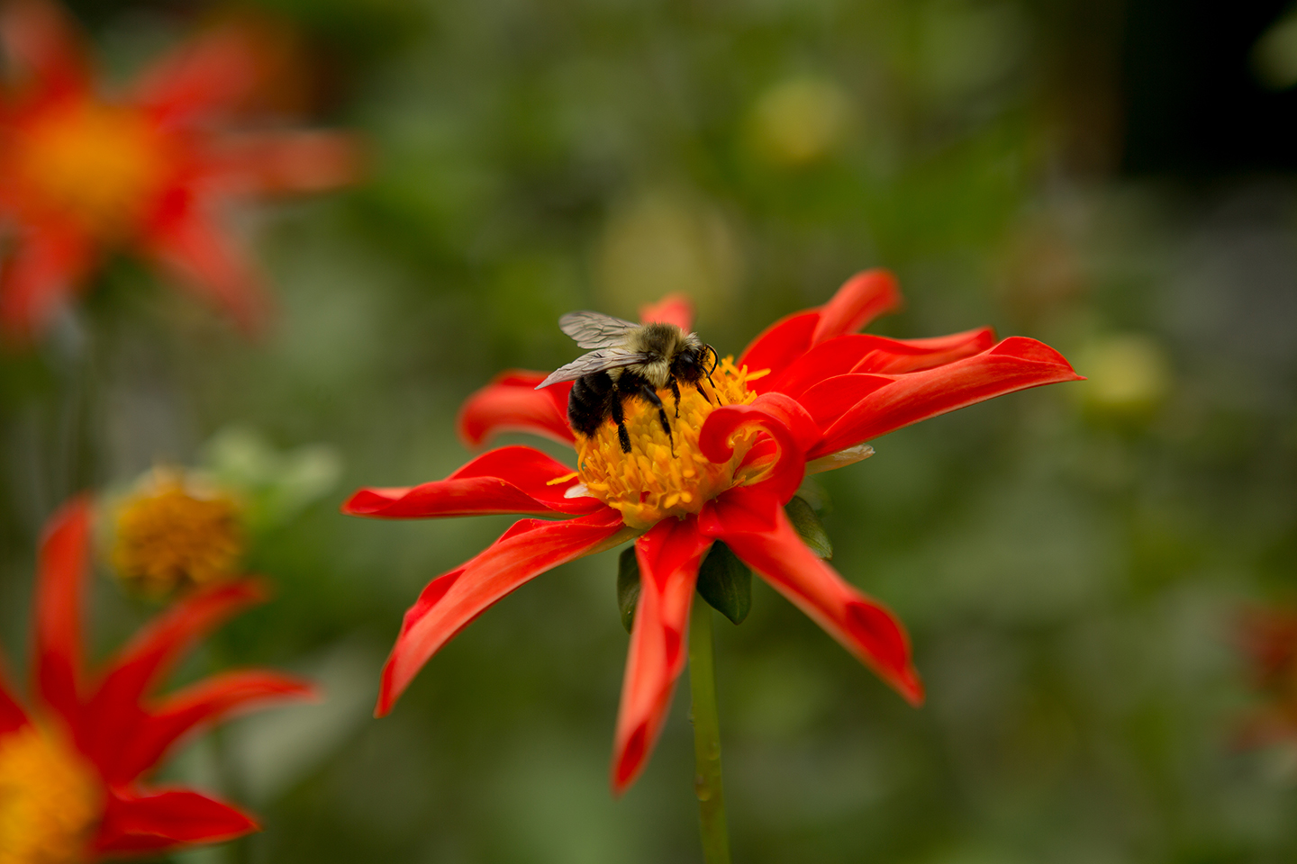 Red-Dahlia-with-an-Insect.jpg