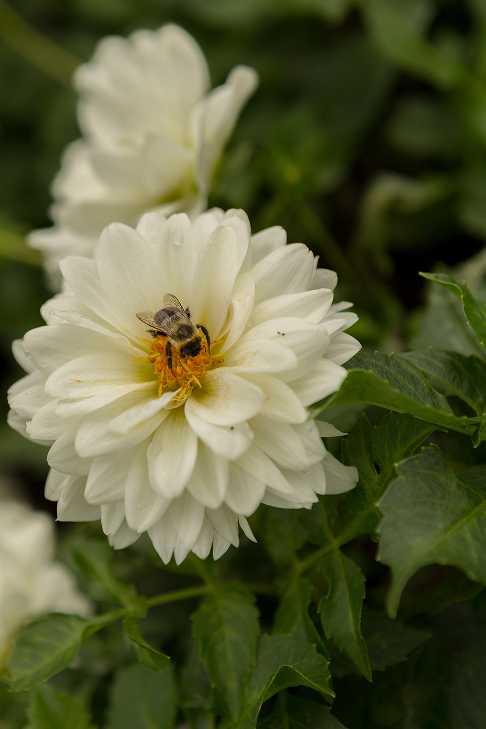 White-Dahlia-with-Insect-2.jpg