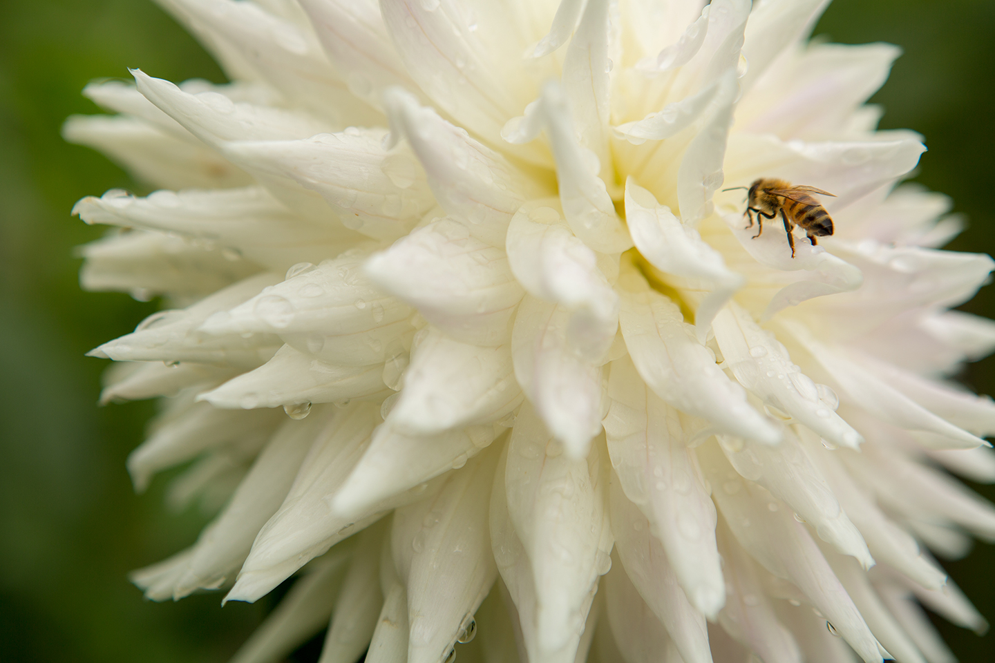 White-Dahlia-with-Insect.jpg
