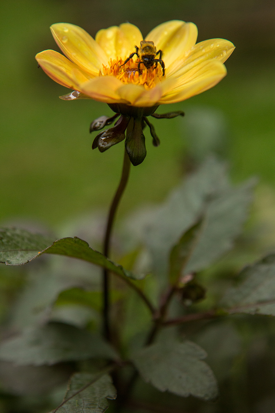 Yellow-Dahlia-with-an-Insect-3.jpg