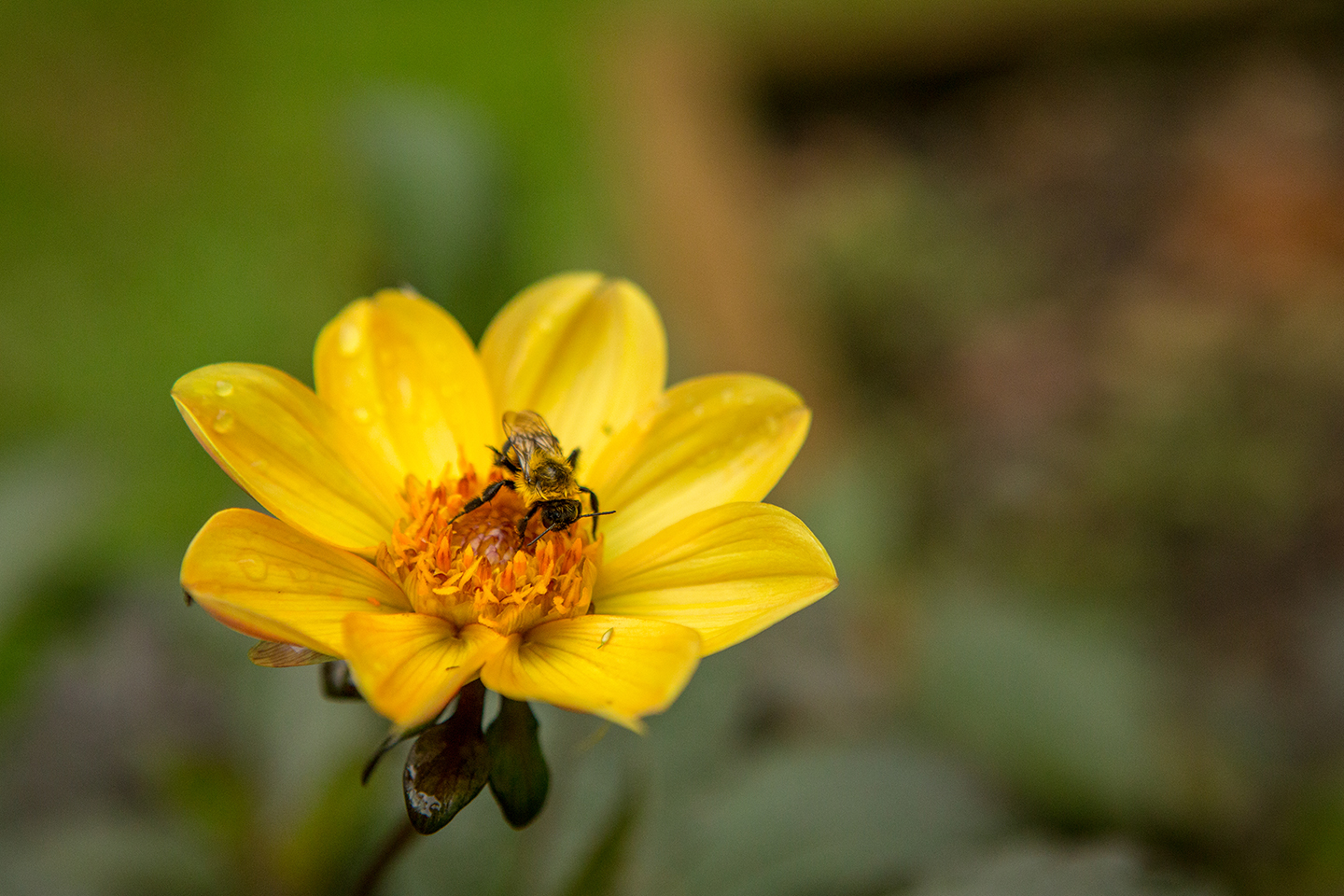 Yellow-Dahlia-with-an-Insect-4.jpg