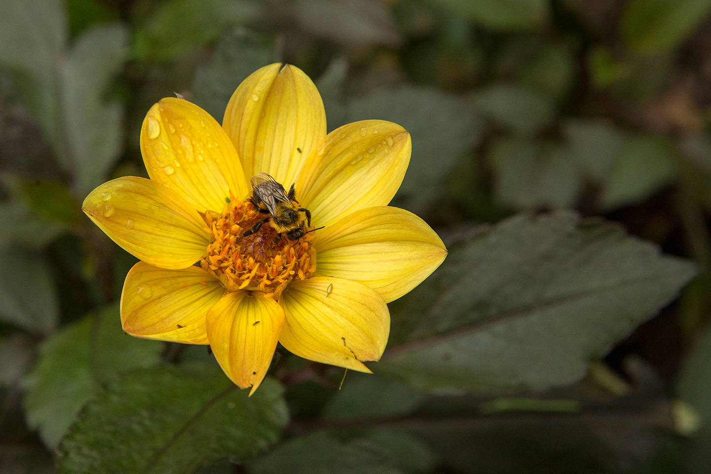 Yellow-Dahlia-with-an-Insect-5.jpg
