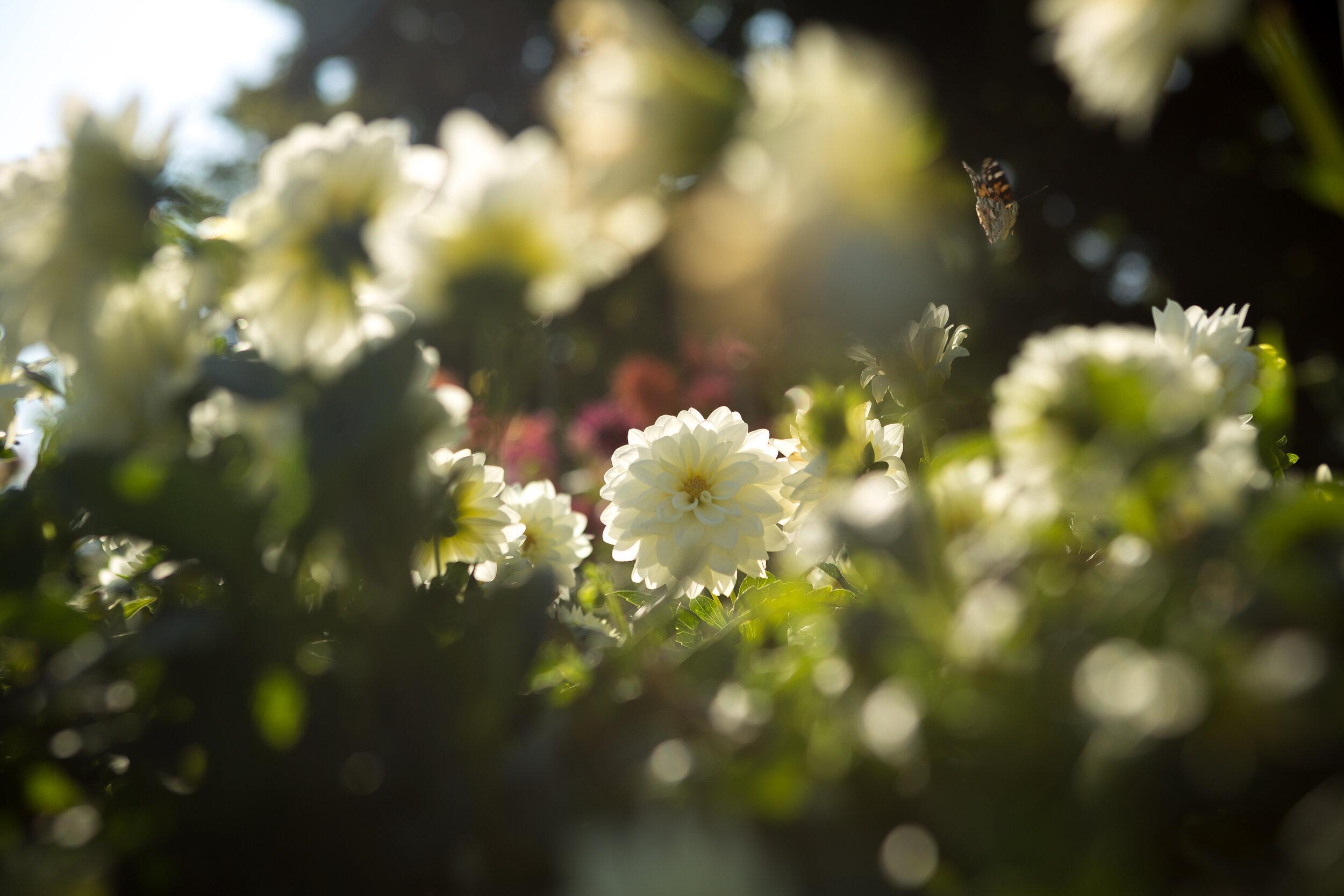 Dahlia Garden Shining Bright
