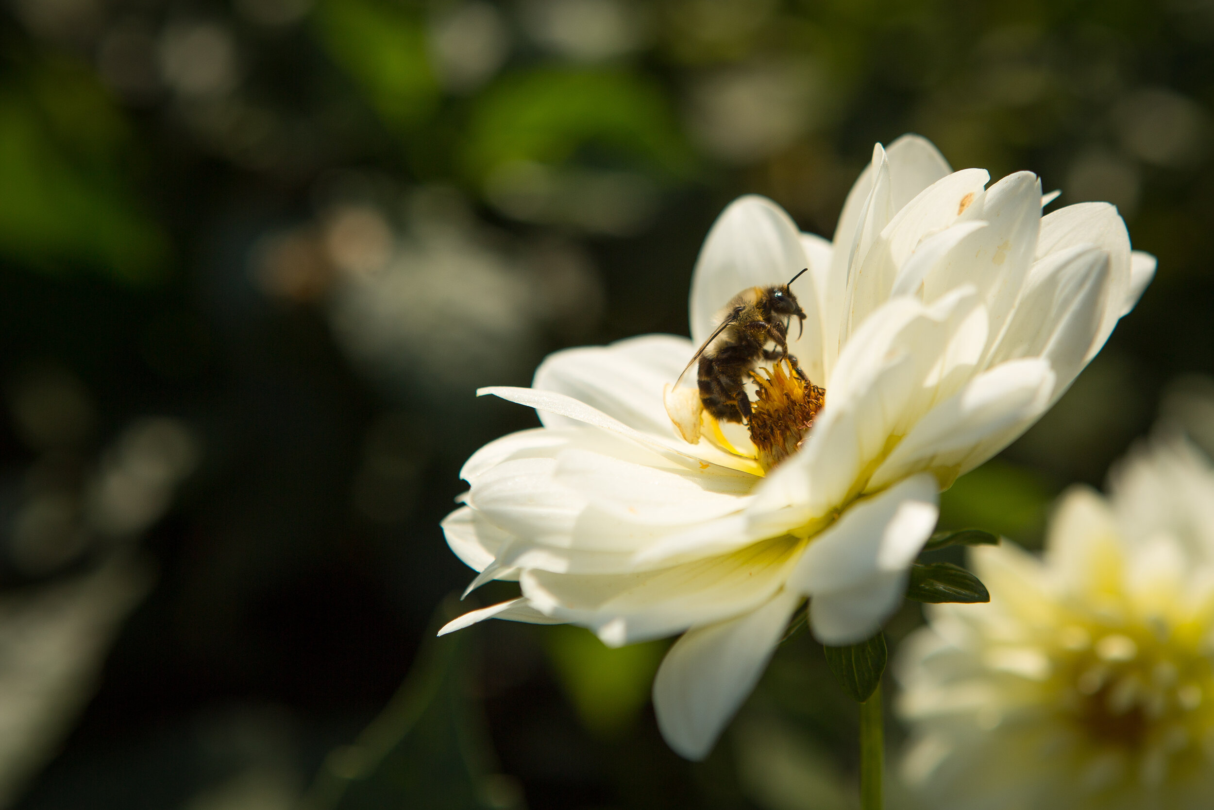 """""""Pollination is needed for plants to reproduce, and so many plants depend on bees or other insects as pollinators. When a bee collects nectar and pollen from the flower of a plant, some pollen from the stamens—the male reproductive organ of the flower—sticks to the hairs of her body.""""  -https://bees.techno-science.ca/"""