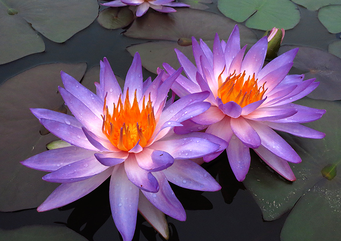 water-lily-Nymphaea 2.jpg