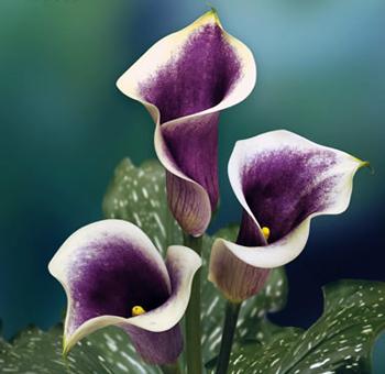 bicolor-mini-calla-lily-flower.jpg