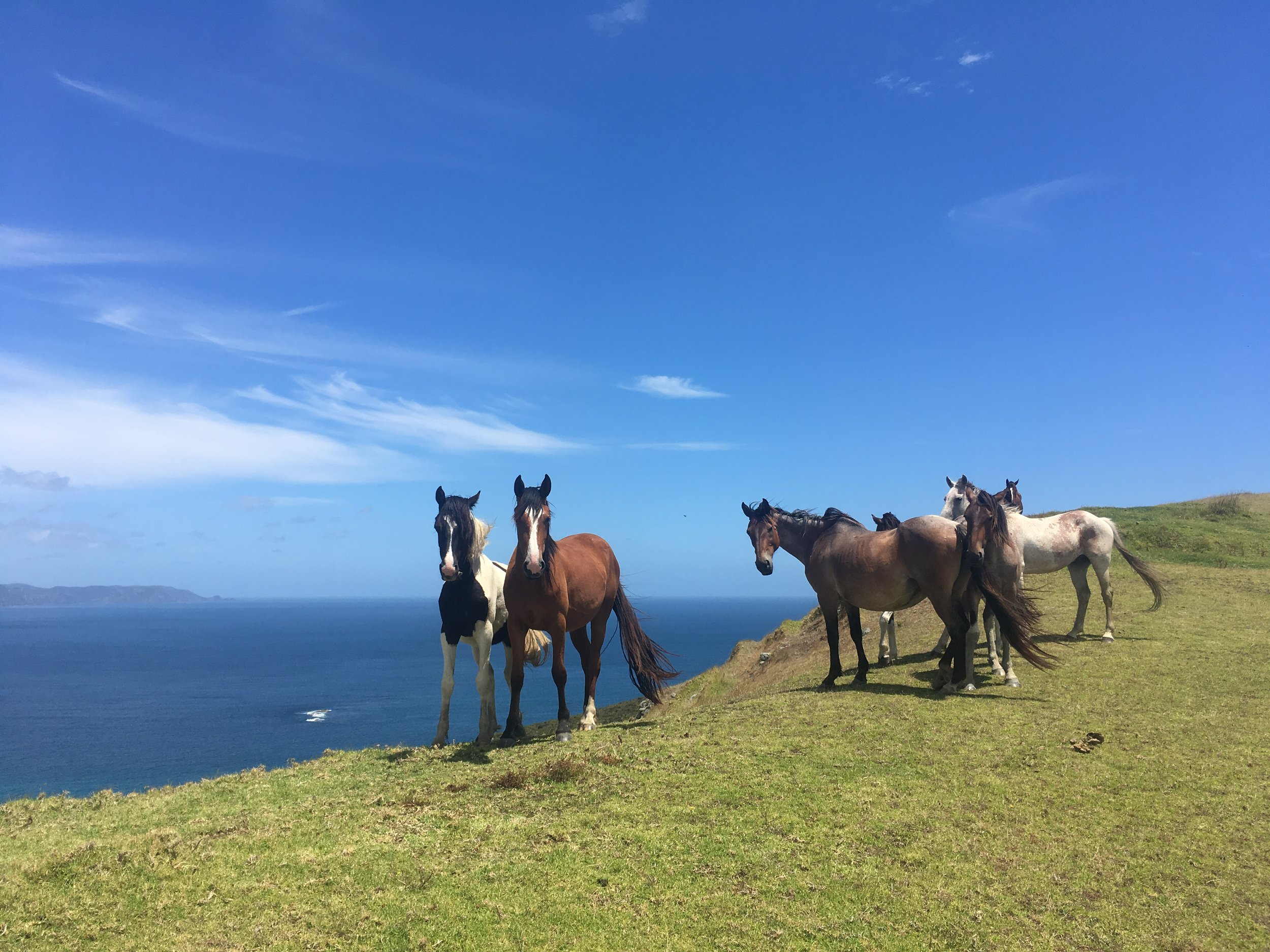 Wild Horses at spirits Bay