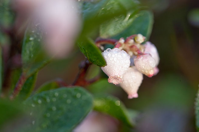 Back From The Brink - Back From The Brink tells the uplifting and unusual tale of the Franciscan Manzanita—a plant that had been extinct in the wild for 70 years, until a passing commuter spotted it growing on a small freeway traffic island, at the northern edge of San Francisco.