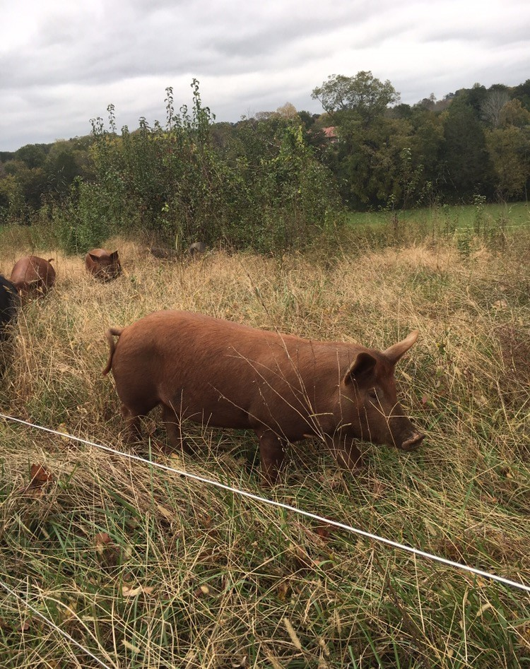 Pigs in Grass, Pasture Raised Meat in Chickamauga, GA