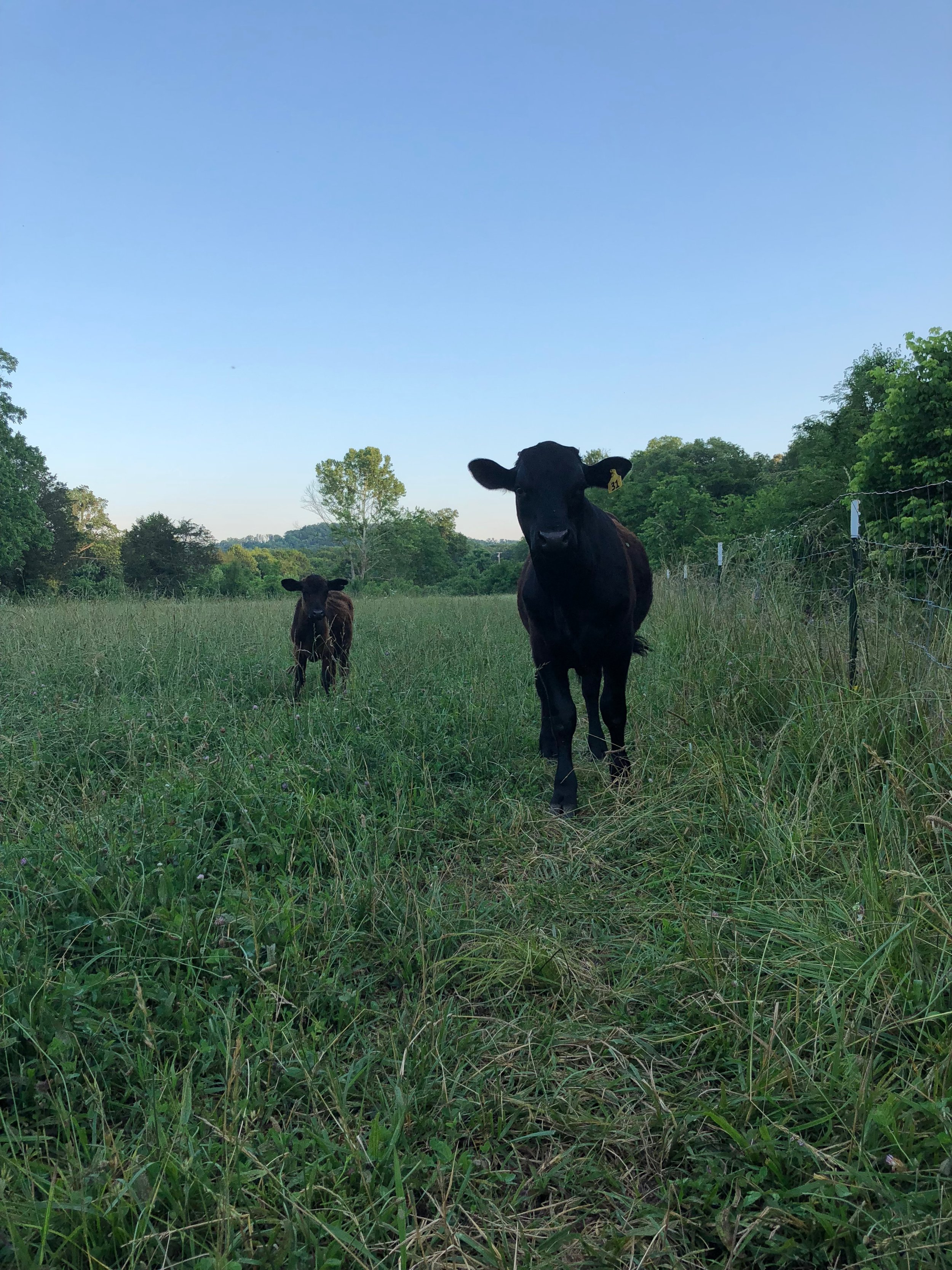 Cows, Pastured Meat in Chickamauga, GA