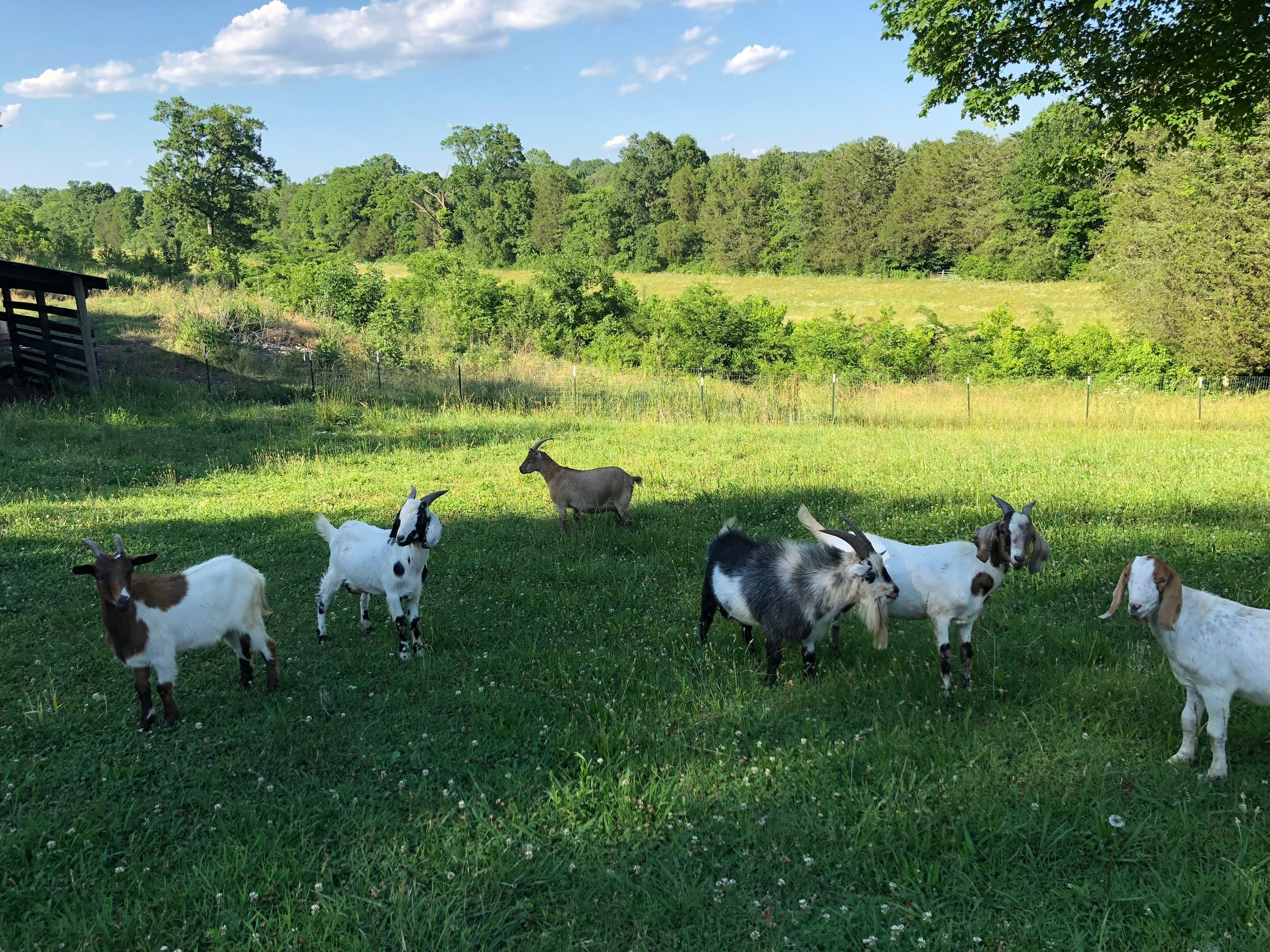 Group of Goats, Pastured Meat in Chickamauga, GA