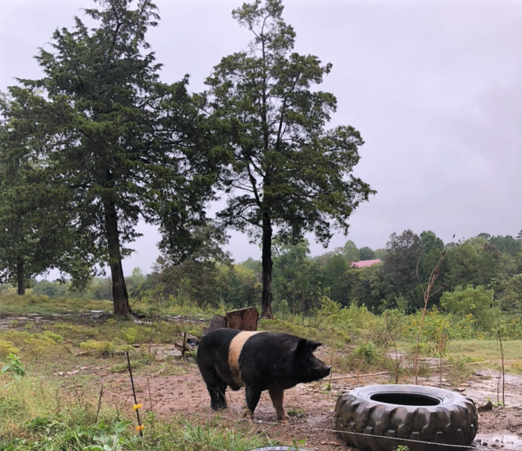 Wilbur the old line large hampshire boar. Based on skeletal size and structure, from consulting with multiple pig experts it has been determined that Wilbur came from old line genetics.