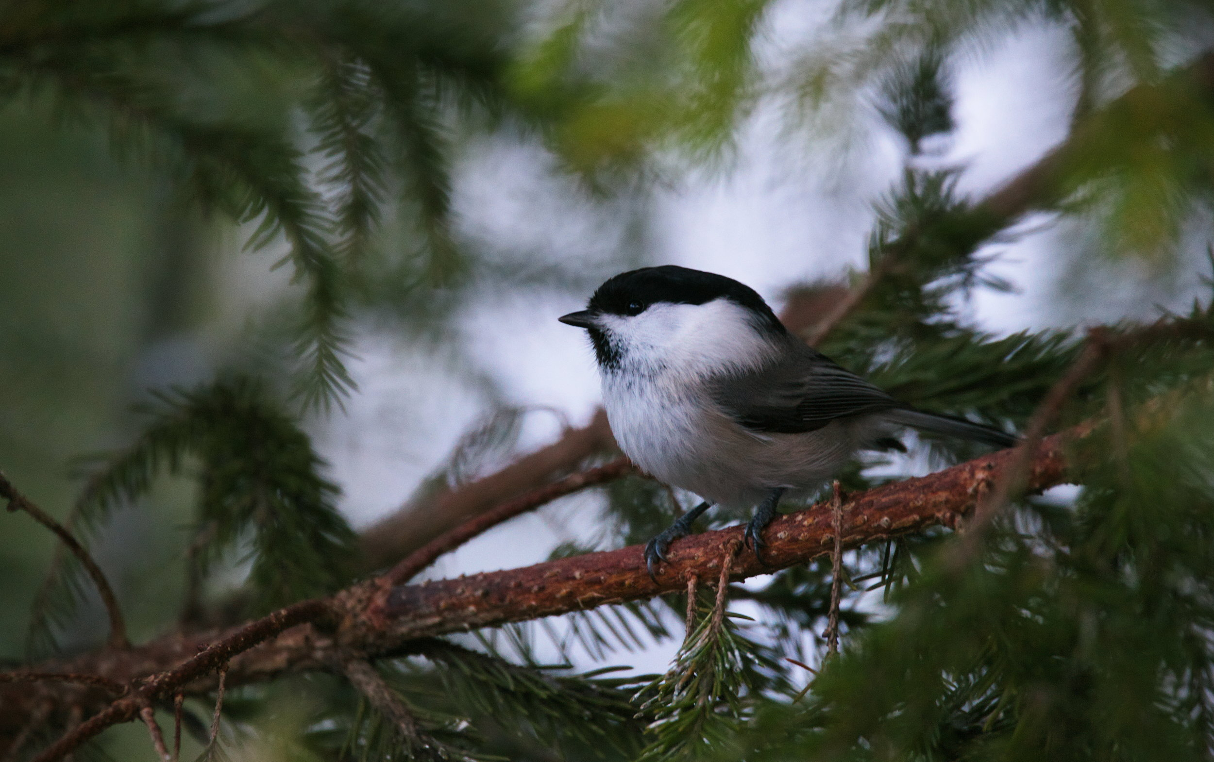 Willow Tit in the Tree