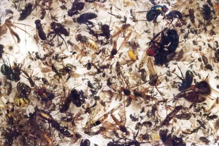 被困在马氏诱集器里的飞虫,昆虫学家借此来收集样本。图片由昆虫学家协会提供。