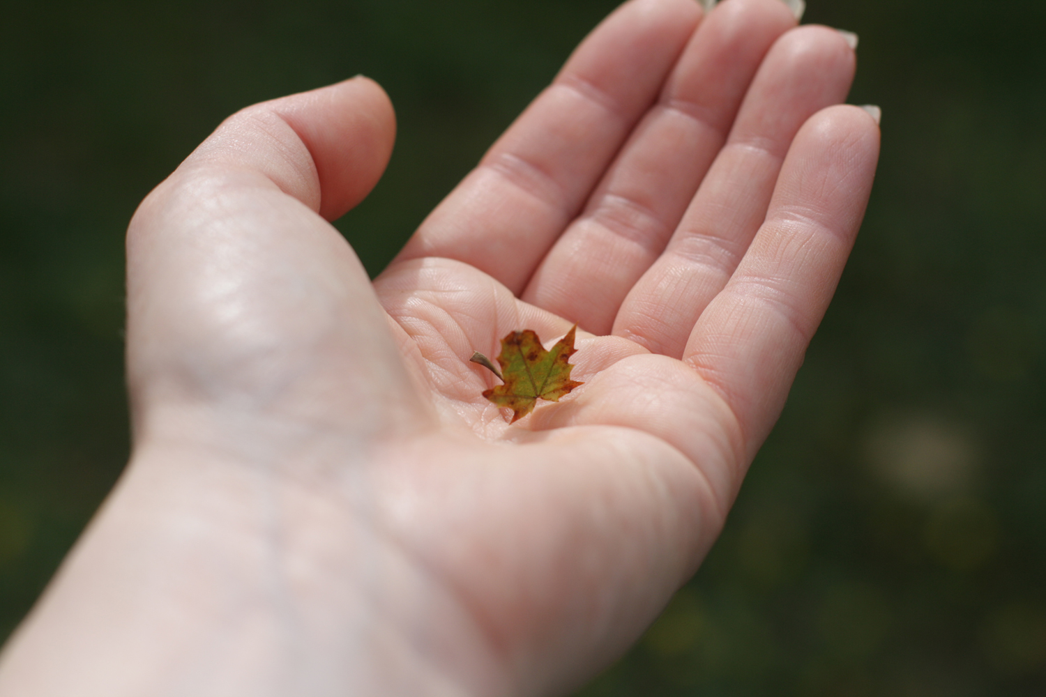 B16_Sep02_Tiny_Maple_Leaf.jpg