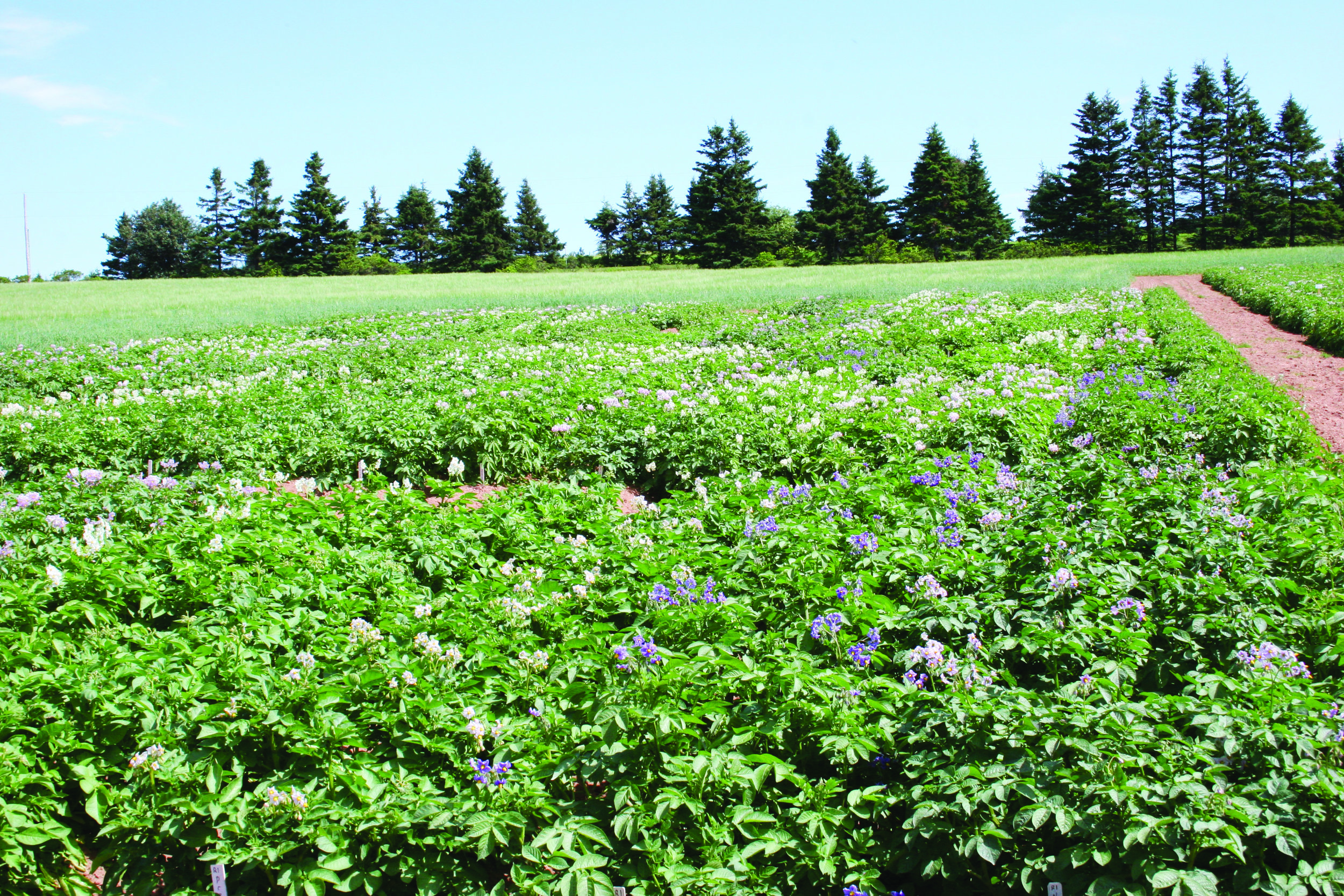 (Above photo) Potato varieties being tested for susceptibility to wireworm in Canoe Cove, P.E.I.