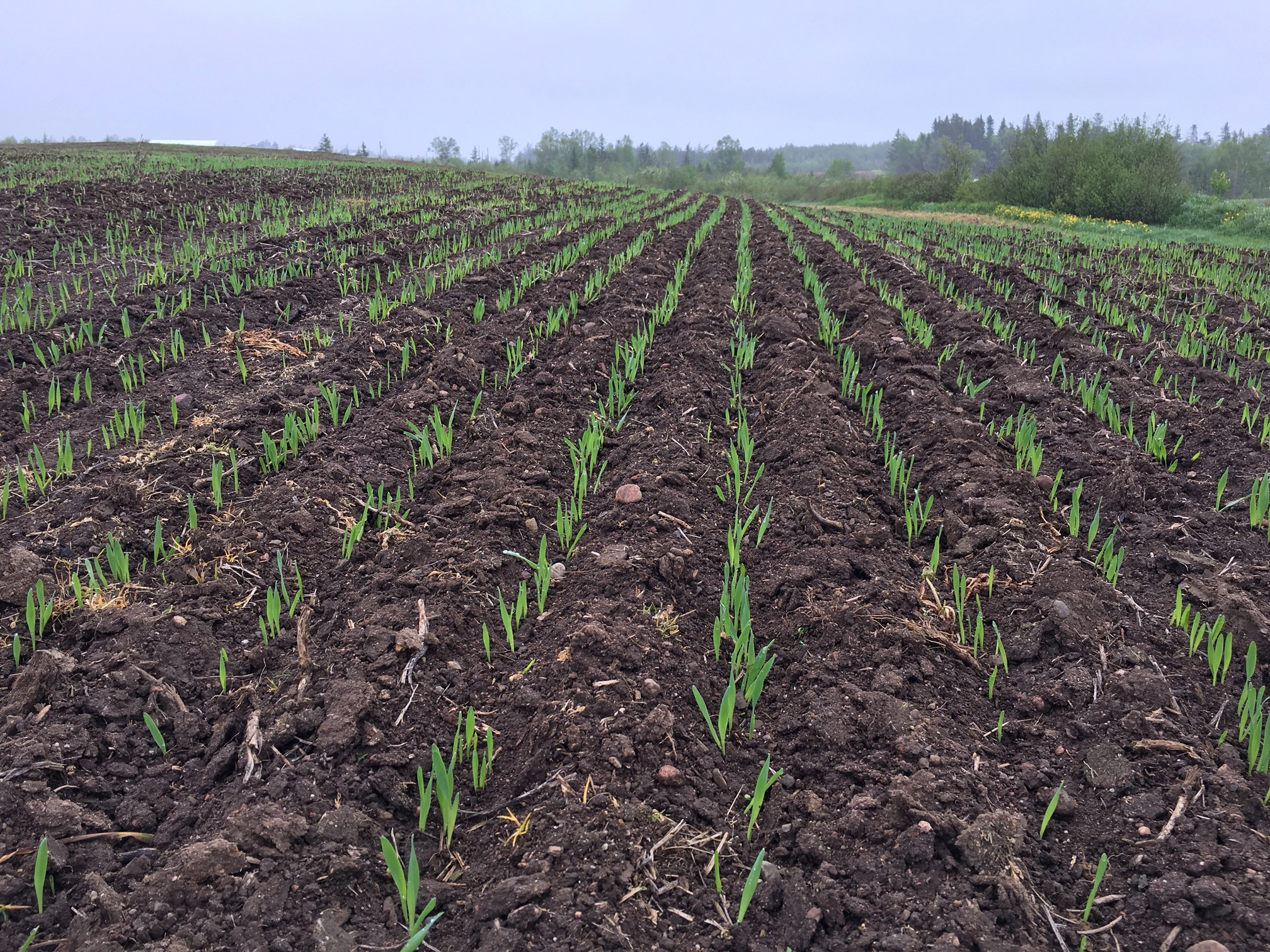 Newfoundland and Labrador's inaugural malting barley crop has taken root at Ian Richardson's Larch Grove Farm in Cormack.