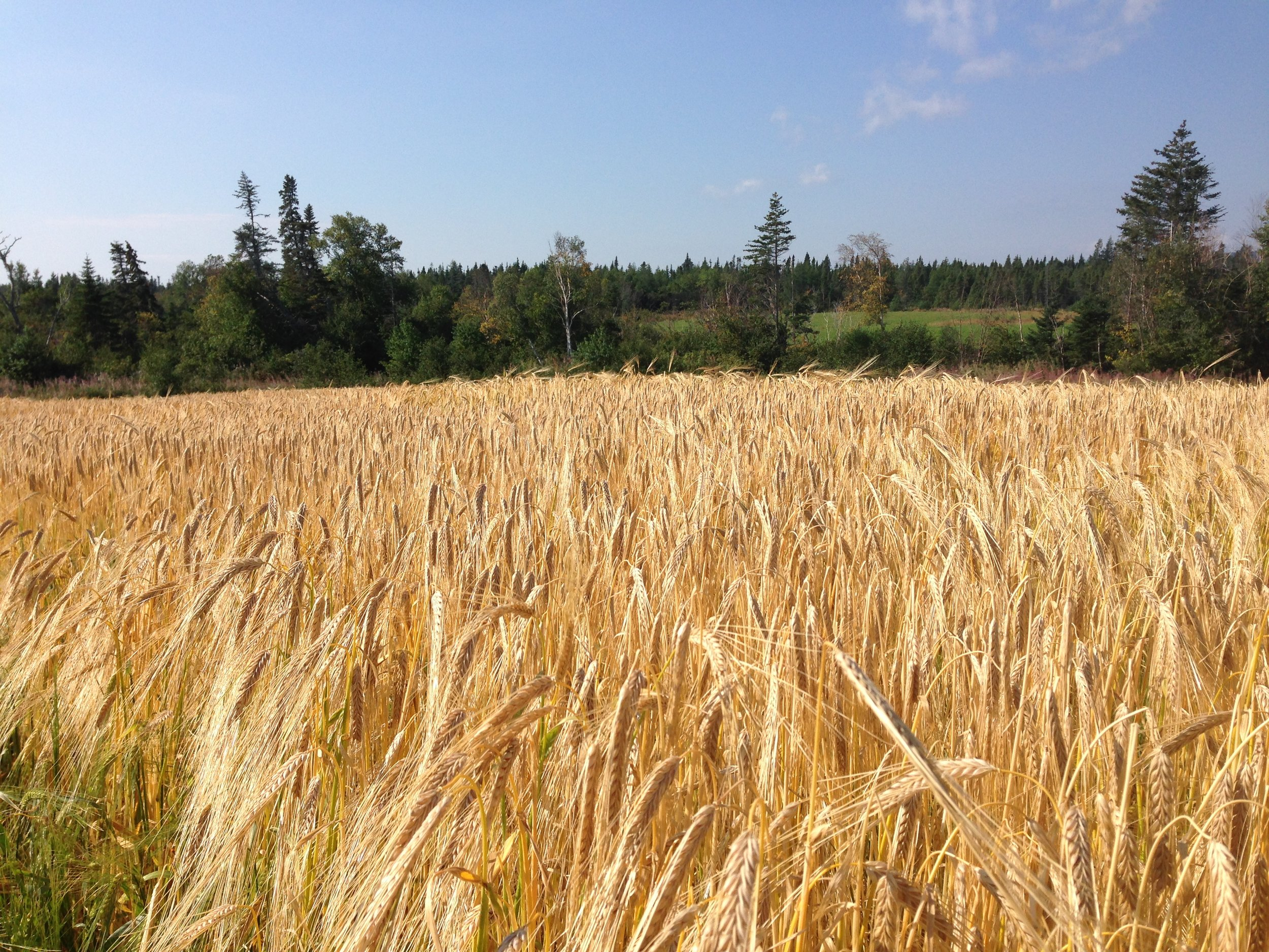 In 2016, 15 acres of Cerveza barley was planted as a feed crop at Larch Grove Farm in Cormack, N.L. The small acreage allowed researchers to assess the barley under conventional management in preparation for the malting barley project.